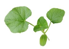 Opo squash leaf Stock Photos