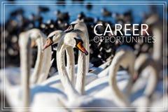 Oportunidades da carreira Cisnes no lago Fotos de Stock Royalty Free