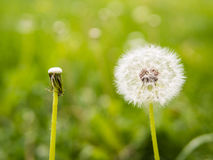 Oposite dandelions: full and empty Stock Images