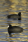 Opossing Coots Stock Images