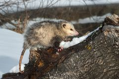 Opossum δευτερεύον μάτι Didelphimorphia στο κούτσουρο Στοκ φωτογραφία με δικαίωμα ελεύθερης χρήσης