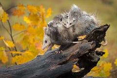 Opossum περίπατοι Didelphimorphia κάτω από το κούτσουρο με Backful του φθινοπώρου Joeys στοκ φωτογραφία