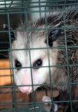 Opossum fotografia stock