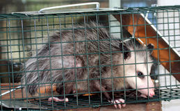 Opossum. Captured Opossum Looking Through Cage Royalty Free Stock Photo