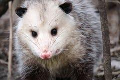 opossum fotografie stock