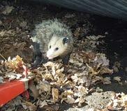 opossum Lizenzfreie Stockbilder
