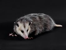 Opossum Stock Photos