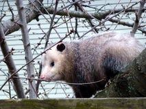 Opossum Stock Photos