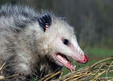 Free Opossum Royalty Free Stock Photography - 8984437