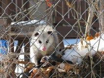 Opossum-Anstarrenwettbewerb Stockbilder