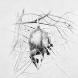 Opossum in bianco e nero di sonno che appende su un ramo di albero immagini stock libere da diritti