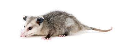 opossum commun Photographie stock libre de droits