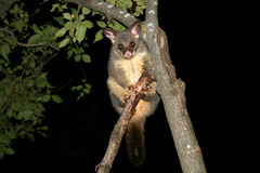 Opossum commun de brushtail d'Australie Photo libre de droits