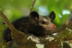 Opossum commun, marsupialis didelphe, nature sauvage, Belize photographie stock libre de droits