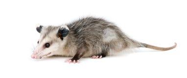 Opossum comune Fotografia Stock Libera da Diritti