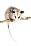Opossum comune Fotografie Stock