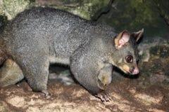 Opossum courageux dans le trou Photos stock