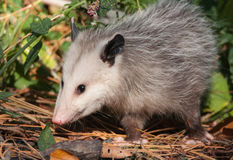 Opossum Stock Photography