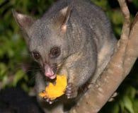 Opossum dat een stuk van mango houdt stock afbeeldingen