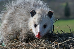 Opossum de la Virginie images stock