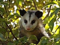 Opossum del bambino Immagine Stock Libera da Diritti