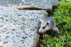 Opossum del bambino nel mio cortile immagini stock