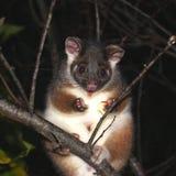 Opossum del Ringtail fotografia stock