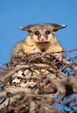 Opossum della coda della spazzola in albero Fotografia Stock Libera da Diritti