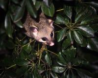 opossum della Spazzola-coda Fotografia Stock