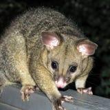 Opossum di Brushtail Immagine Stock Libera da Diritti