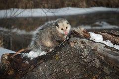 Opossum Didelphimorphia στο κούτσουρο που φαίνεται χαριτωμένο Στοκ εικόνα με δικαίωμα ελεύθερης χρήσης