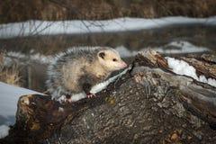 Opossum Didelphimorphia στο κούτσουρο Στοκ εικόνα με δικαίωμα ελεύθερης χρήσης