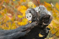 Opossum Didelphimorphia With Joeys On Her Back at End of Log royalty free stock photography