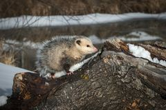 Opossum Didelphimorphia on Log Royalty Free Stock Image