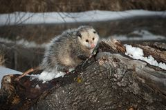 Opossum Didelphimorphia on Log Looking Cute Royalty Free Stock Image