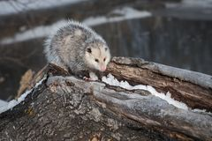 Opossum Didelphimorphia Stands on Log Royalty Free Stock Photo