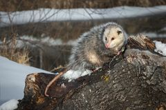 Opossum Didelphimorphia Turns Drooling Stock Images
