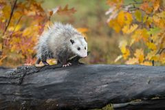 Opossum Didelphimorphia Walks Right Across Autumn Log royalty free stock image