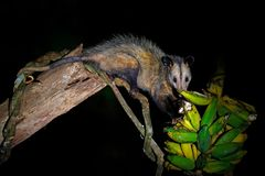 Opossum, Didelphis marsupialis, from Costa Rica. Wildlife animal scene from nature. Rare animal on the tree. Common Opossum in royalty free stock photo