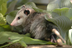 Opossum hiding. An opossum hiding in the grass on a wall Royalty Free Stock Photos