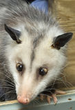Opossum Incrocio-Eyed Fotografia Stock Libera da Diritti