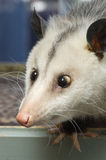 Opossum Incrocio-Eyed Immagini Stock