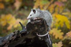 Opossum Joey Didelphimorphia Faces Left Atop Log End royalty free stock photos