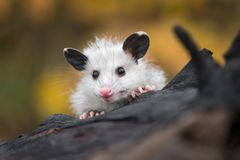 Opossum Joey Didelphimorphia Peers Over Log stock photography