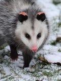 Opossum in neve Immagine Stock