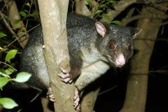 Opossum omhoog een boom stock afbeelding
