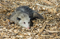 Opossum playing possum Stock Photos