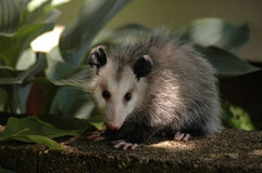 Opossum posing for camera. A young opossum looks at the camera warily while trying to hide Royalty Free Stock Photos