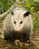 Opossum or Possum Eye to Eye. This little opossum stared me eye to eye while taking his picture. He really didn't seem to mind. Some folks think possums are ugly royalty free stock photography