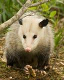 Opossum or Possum Eye to Eye